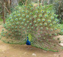 Peacock at Toodyay Caravan Park, Western Australia by afton