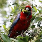 crimson rosella III by geophotographic