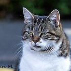 fat gray cat by moregoodart