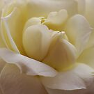 Soft Winter Cream Rose by edesigns14