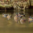 Wonderful Wood Ducks! by KatMagic Photography