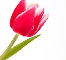 Single pink tulip by sc-images