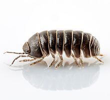 Pill-bug armadillidium vulgare species isolated on white background by paulrommer