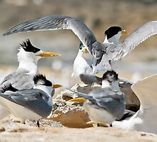 Crested tern colony by Jennie  Stock