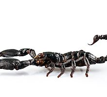 Black scorpio species Heterometrus cyaneus by Pablo Romero