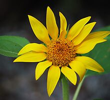 Wild Sunflower by Bugman69