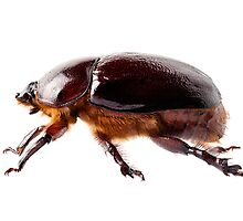 "European rhinoceros beetle female ""Oryctes nasicornis"" species by Pablo Romero"