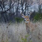 A doe is spotted ahead by Jim Cumming