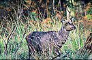 Young Sika Stag by naturelover