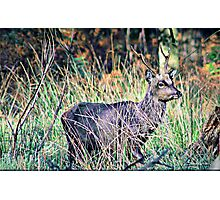 Young Sika Stag Photographic Print