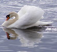 Swan reflection by TapSnaps