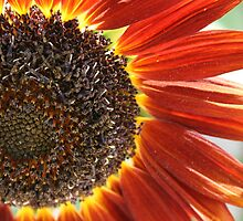 Red Sunflower by sstruse