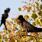 Black Cockatoo by Mark Ingram Photography