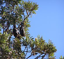Fruit Eating Flying Fox hanging in the Banksia trees. Evans Head. by Rita Blom