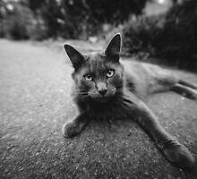 Gray Cat on Washington Sidewalk; Hello Stranger by va103