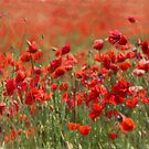painterly poppies by Teresa Pople