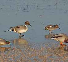 Winter Ducks by MikeSquires