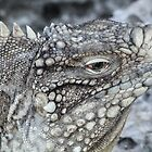 Spiny Tailed Iguana by Kat Augustine
