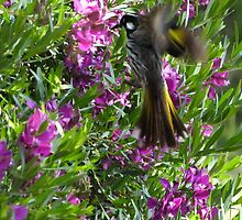 New Holland honeyeater approaching nest!  by Rita Blom