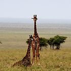 Room with a view  - Pair of Giraffe's on Naabi Hill - Serengeti Tanzania by john  Lenagan