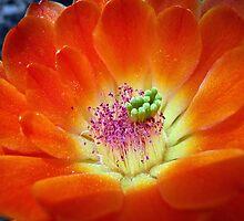 Hedgehog Cactus Floral Flame by Robert Meyers-Lussier
