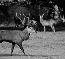 Deer in Black & White by Richard Greenwood