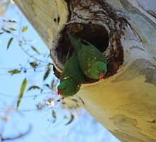 Scaly-breasted Lorikeets by Chris Kean