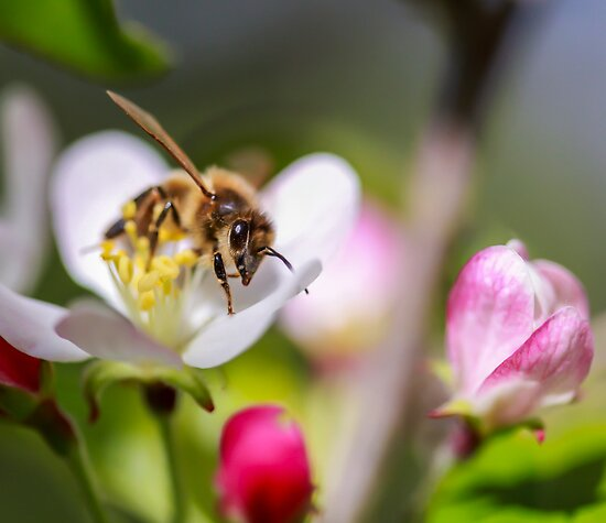 2.11.13 bee 1 by Paul Campbell  Photography