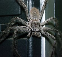 Huntsman Spider by BigAndRed