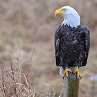 eagles of the valley 01 by j Kirk Photography                      Kirk Friederich