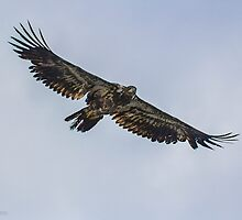 Immature Bald Eagle by yellocoyote