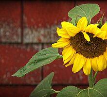 Sunflower & Shingles by Amanda White