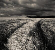 Barley Crop by DianeRocks