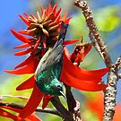 A Southern Double Collared Sunbird by jozi1