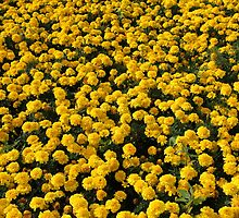 Yellow Marigolds by mrivserg