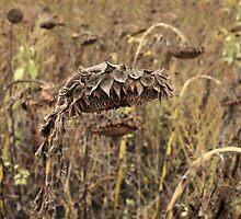 Dried Sunflower by mrivserg