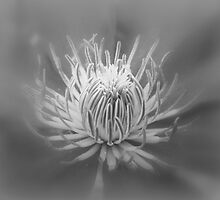 Heart Of A Red Clematis In Black And White by MotherNature2