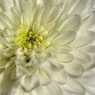 White Chrysanthemum by Sarah Couzens