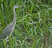Great Blue Heron (Ardea herodias) by Liam Wolff