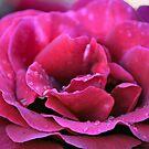Pink Rose by Bami