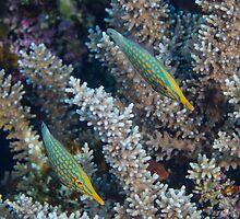 Pair of Longnose Filefish by Mark Rosenstein