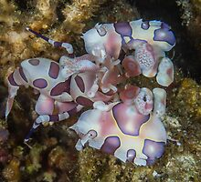 Harlequin Shrimp by Mark Rosenstein