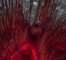 Fire Urchin with Cardinalfish by Mark Rosenstein