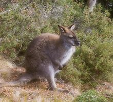 Wallaby by Elaine Teague