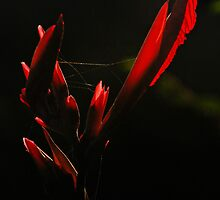 Canna Lily Dressed In Web by Annette Pora