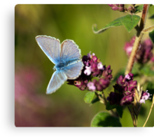 The Common Blue Canvas Print