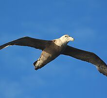 Giant Petrel Soaring on a Thermal by Carole-Anne