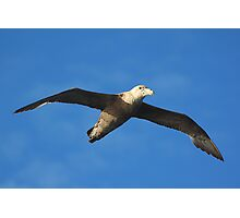 Giant Petrel Soaring on a Thermal Photographic Print