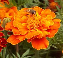 The Hoverfly and the Marigold by Maree Clarkson