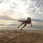 Maliniois jumping for joy! by Belgian Shepherd Dog Club of QLD Inc